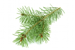 Isolated Fir Branch